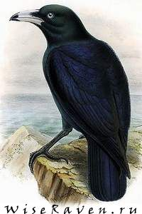 Macrocorax woodfordi